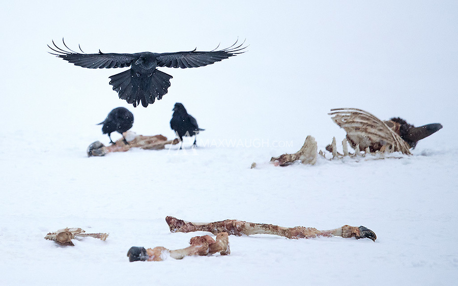 Ravens visit an old bison carcass.