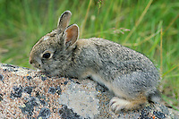 Young mountain cottontail rabbit or Nuttall's Cottontail (Sylvilagus nuttallii)