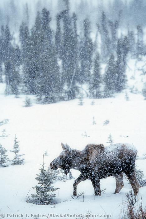 Moose in snowstorm, Kenai Peninsula, Alaska