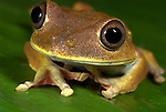 Tree Frog, Hyla sp. Manu Peru, large eyes, brown, portrait, large mouth. .Peru....