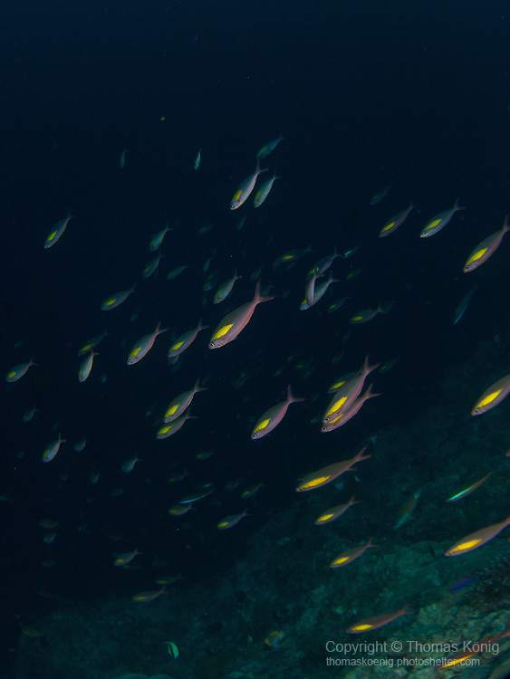Apo Reef, Sulu Sea -- Aggregation of Randall's fusiliers.