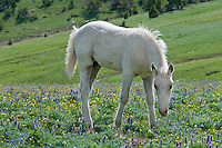 Wild Horse or feral horse (Equus ferus caballus) colt among mountain wildflowers.  Western U.S., summer.