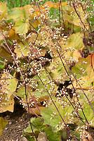 Heuchera villosa 'Brownies' in flower, hairy alumroot