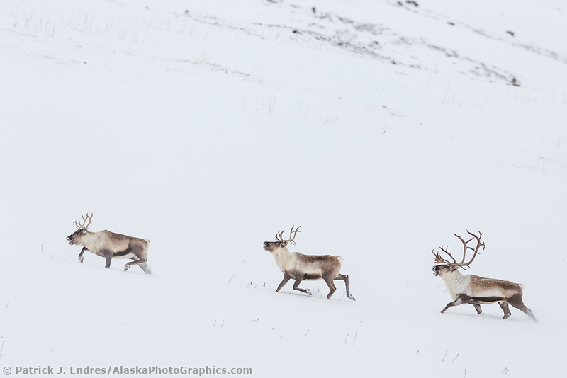 Caribou travel through the snowy tundra in Atigun canyon, Brooks Range, Arctic, Alaska.
