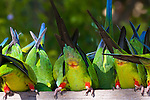 Nanday parakeets reach down for some food, Brazil