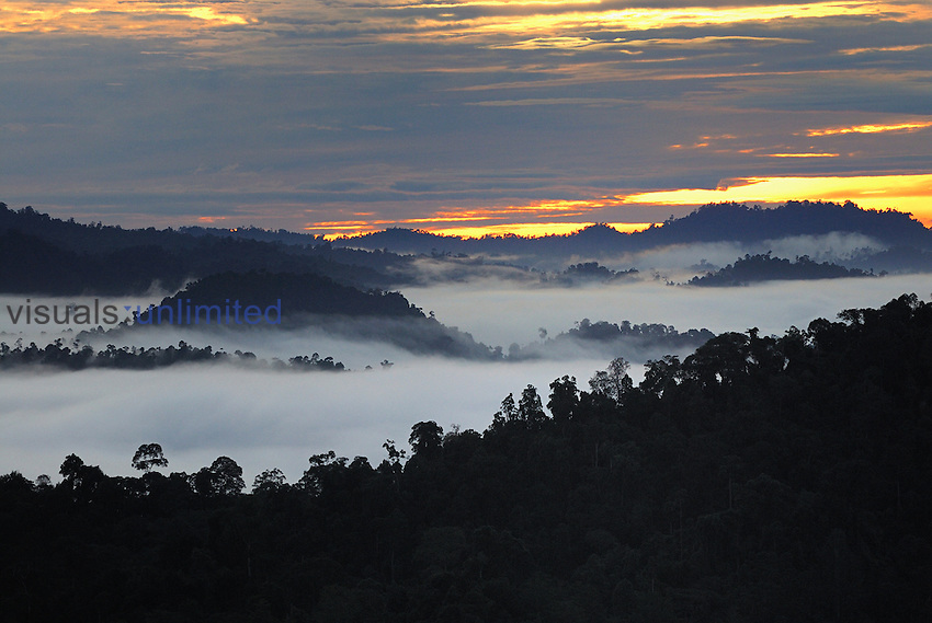 Canopy of the lowland rainforest at dawn with fog and mist, Danum Valley Conservation Area, Sabah, Borneo, Malaysia