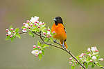 Baltimore Oriole (Icterus galbula) male perched amid apple blossom in spring, Freeville, New York, USA.