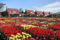 Nederland Limmen 2018.  Niet alleen in Keukenhof zijn bijzondere tulpen te zien. In Noord-Holland ligt de Hortus Bulborum. In de tuin staan meer dan 4000 soorten bloemen. De hortus, waarin voornamelijk tulpen en narcissen staan, is in 1928 opgericht. De Hortus Bulborum is een proeftuin, waar nieuwe soorten worden gekweekt.  Foto Berlinda van Dam / Hollandse Hoogte