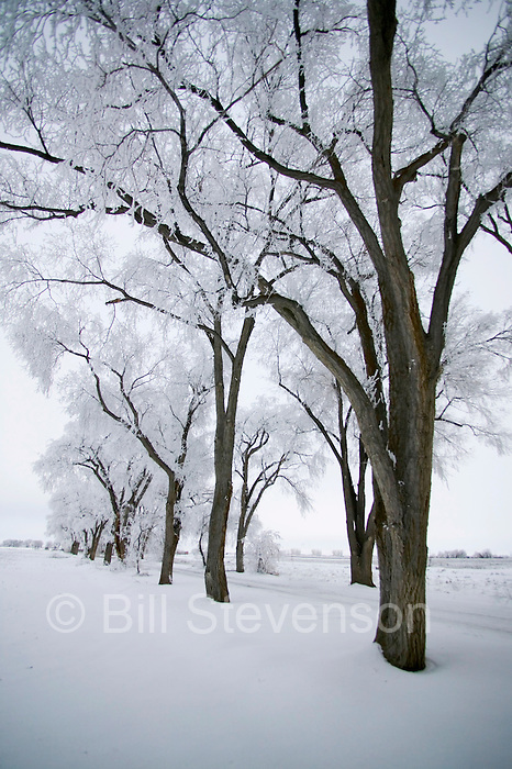 A photo of frost covered Cottonwood trees in Lovelock, NV.