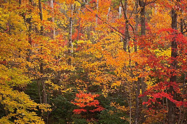 Autumn forest, Unaka Mountains