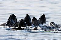 humpback whales, Megaptera novaeangliae, co-operatively bubble-net feeding, Alaska, USA, Pacific Ocean