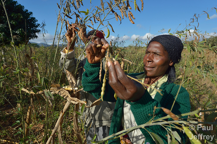 Agnes Tembo and her husband Geoffrey Nkhambule harvest corn and peas, which have been planted together, on their farm in Edundu, Malawi. Families in the village have benefited from intercropping, crop rotation, and composting practices they learned from the Malawi Farmer-to-Farmer Agro-Ecology project of the Ekwendeni Mission Hospital AIDS Program, a program of the Livingstonia Synod of the Church of Central Africa Presbyterian.
