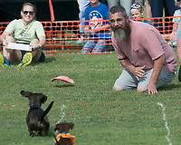 "NWA Democrat-Gazette/J.T. WAMPLER Jeff Ussery of Bigelow coaxes his dog Solo to a strong finish Saturday Oct. 6, 2018 at the 12th Annual ""Weiner Takes All"" Arkansas State Championship Weiner Dog Races in Bella Vista. The event is an annual fundraiser for the Bella Vista animal shelter. For information about adopting or donating visit http://bellavista-animalshelter.org/"