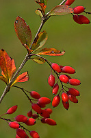 Gewöhnliche Berberitze, Sauerdorn, Berberis vulgaris, Common Barberry, European barberry