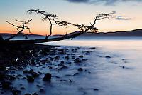 Shoreline tree leaning out over water and rocks at sunset, Washington Park, Fidalgo Island, Skagit County, Washington, USA