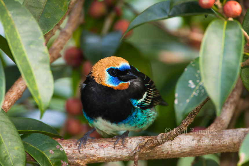 A Golden Hooded Tanager pauses among berries.