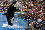Sea World Aquatic Park with killer whale breaching before stunned audience San Diego California USA