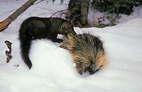 FISHER preying on Porcupine, which is its main prey..Winter. Rocky Mountains..(Martes pennanti).