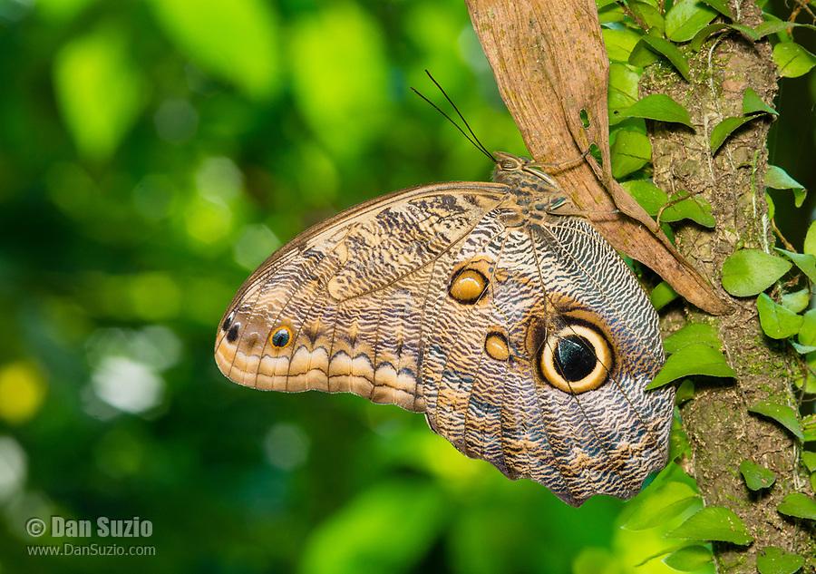 Owl Butterfly, Caligo sp., in the butterfly garden (mariposario) at Restaurante Selva Tropical, Guapiles, Costa Rica