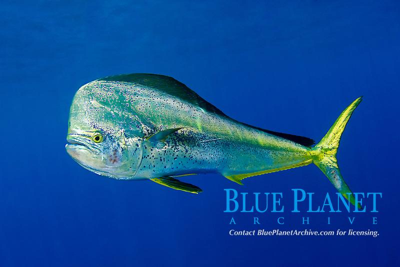 mahi-mahi or common dolphinfish, Coryphaena hippurus, bull, Louisiana, USA, Gulf of Mexico, Caribbean Sea, Atlantic Ocean
