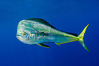 mahi-mahi or common dolphinfish, Coryphaena hippurus, bull, Louisiana, USA, Gulf of Mexico, Caribbean Sea, Atlantic Ocean