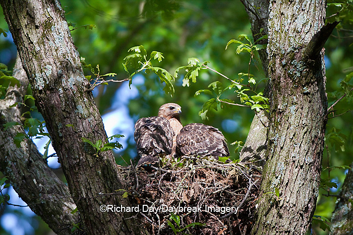 00794-00614 Red-shouldered Hawks (Buteo lineatus) adult and nestlings at nest, Marion Co., IL