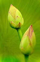 Montage of pair of lotus buds and longleaf pine needles