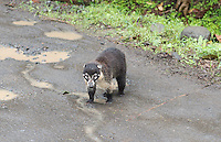 Coati in Costa Rica