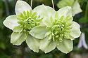 Clematis florida 'Alba Plena', early July.