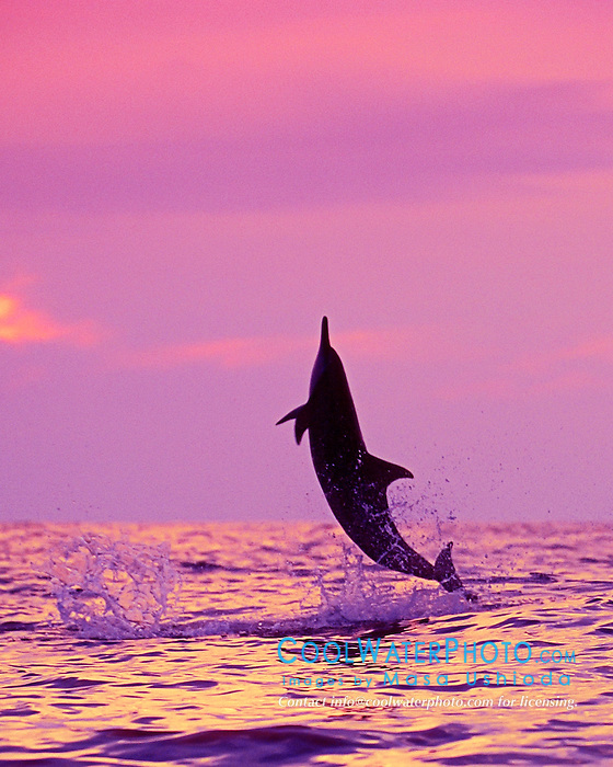 Long-snouted Spinner Dolphin leaping at sunset, Stenella longirostris, Kealakekkua Bay, Big Island, Hawaii, Pacific Ocean