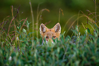 A curious red fox kit sneaks a semi-obscured peak through tall tundra on Alaska's north slope.