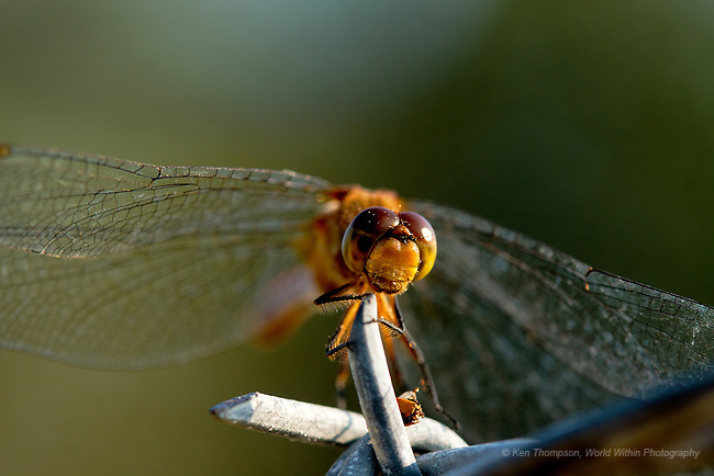 Ruby Meadowhawk (Sympetrum rubicundulum) on barbed wire<br /> <br /> Taken at Midewin National Tallgrass Prairie, Elwood, IL