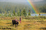 Bull moose shedding velvet with rainbow. Roosevelt National Forest, Colorado.