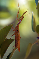Praying mantis in a pear tree