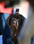 8-month-old Newfoundland Ba'cho watches horses go by during the annual Veterans Day parade in Virginia City, Nev., on Wednesday, Nov. 11, 2015. <br /> Photo by Cathleen Allison