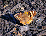 Common Buckeye butterfly. Image taken with a Fuji X-T3 camera and 200 mm f/2 lens