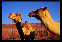 "Bill and Oscar, left to right, of ""Camelot's"" camel herd in southern Utah. Photo by, Karie Henderson © 2002"