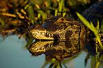 Jacare Caiman (Caiman yacare), Ibera Provincial Reserve, Ibera Wetlands, Argentina