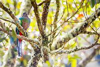 resplendent quetzal, Pharomachrus mocinno, female, in a wild avocado tree, San Gerardo de Dota, San Jose, Costa Rica, Central America