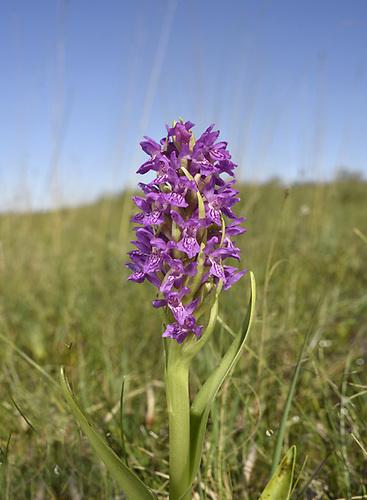 Early Marsh-orchid - Dactylorhiza incarnata<br /> subsp. pulchella