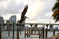 pelican in miami