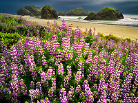 Lupine at Clay Myers State Natural Area. Oregon