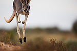 Australia,  NSW, Sturt National Park; red kangaroo (Macropus rufus) hopping; the red kangaroo population increased dramatically after the recent rains in the previous 3 years following 8 years of drought