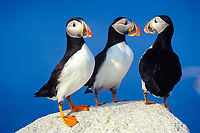 Atlantic puffin, or common puffin, Fratercula arctica, Machias Seal Island, an sovereignty disputed island, belonging to both countries; New Brunswick, Canada, and Maine, USA, Bay of Fundy, Gulf of Maine, Atlantic Ocean