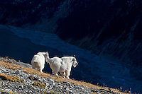Mountain Goat billies (Oreamnos americanus) standing above glacieral braided river.  Northern Rockies.  October.