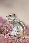Barbary ground squirrel, Atlantoxerus getulus, feeding, Fuerteventura, Canary Islands, Spain.  Introduced from North Africa