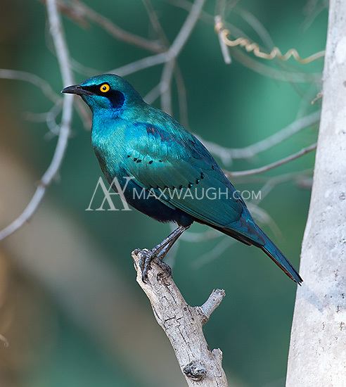 Cape glossy starlings are frequently seen around the campgrounds in Kruger.
