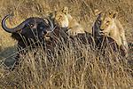 Lions catch an African buffalo, Okavango Delta, Botswana