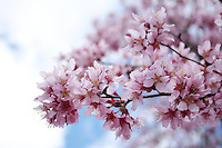Stock photo - Refreshing pink cherry blossom branches extending out against white and blue sky.