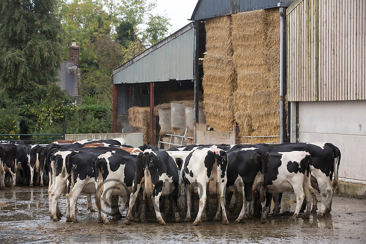 Dairy cows feeding after being milked<br /> Picture Tim Scrivener 07850 303986